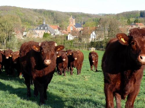 troupeau de vaches.JPG