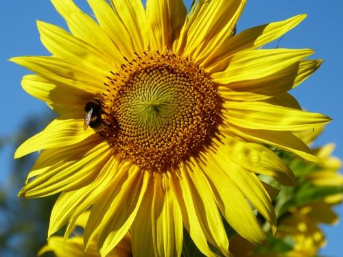 bettraves,néonicotinoïdes,abeilles,pollinisateurs